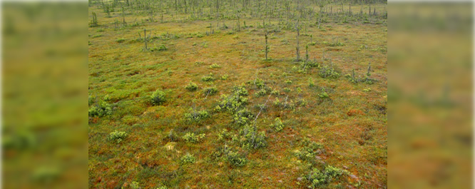 Shrubby blanket bog in northern Minnesota <i>Photo credit: MD DNR</i>
