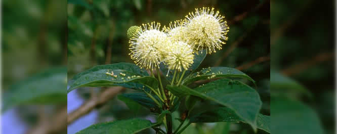 Buttonbush&#xD;&#xA;Cephalanthus spp.&#xD;&#xA;<i>Photo credit: GA Smithsonian