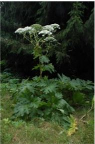 Giant Hogweed - Mature Plant