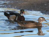 Wood Duck