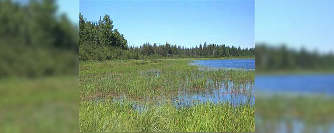 From a distance, wild rice beds appear similar to other common aquatic grasses and reeds.&#xD;&#xA;<br></br>&#xD;&#xA;Image Credit: Ducks Unlimited