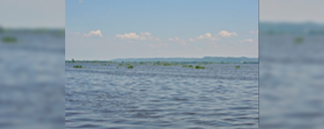 Open Water can provide habitat for threatened plants such as these native phragmites in Pool 8 of the Mississippi River.