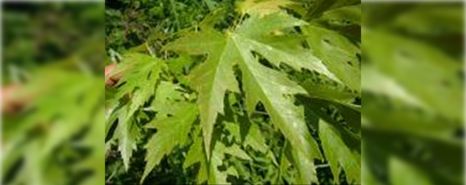Silver Maple - Acer spp.