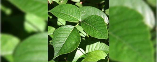 Poison Ivy - Toxicodendron spp.