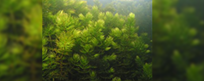Coontail - Ceratophyflum spp.